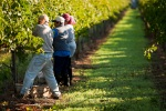 Barbier_Farm_Vineyard_Harvest_0909